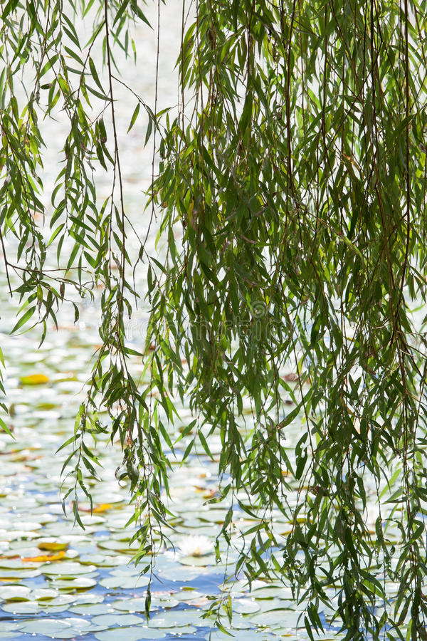 Download Willow stock photo. Image of leaves, tree, branches, lily - 28209634