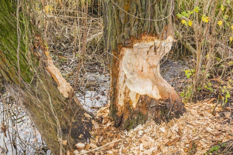 Willow bitten by Eurasian beaver (European beaver, Castor fiber). Trunk Willow (Salix L.) bitten by Eurasian beaver (European beaver, Castor fiber royalty free stock photo
