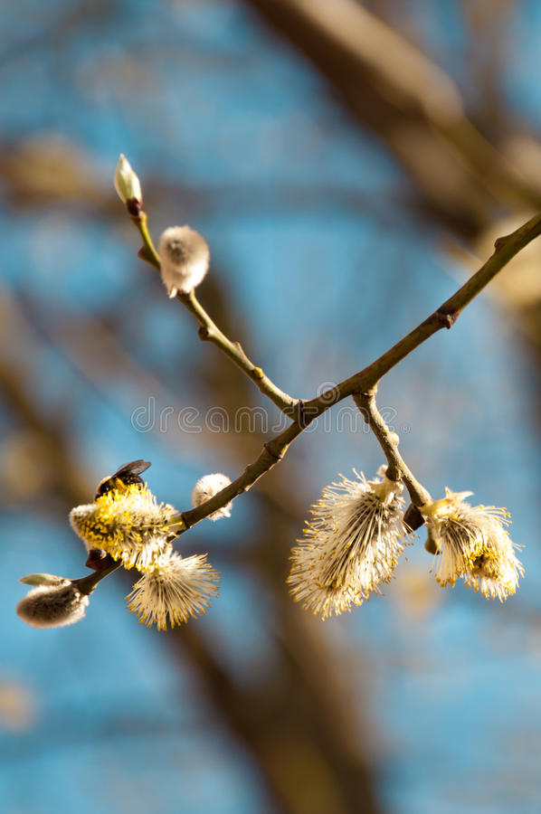 Willow in bloom with bee royalty free stock photos