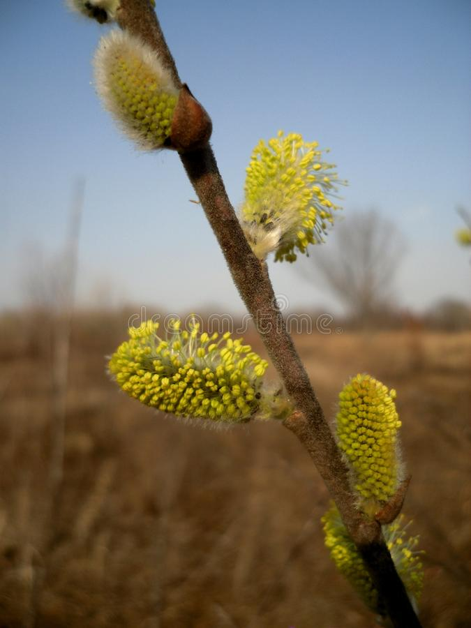 Willow blooming stock photography