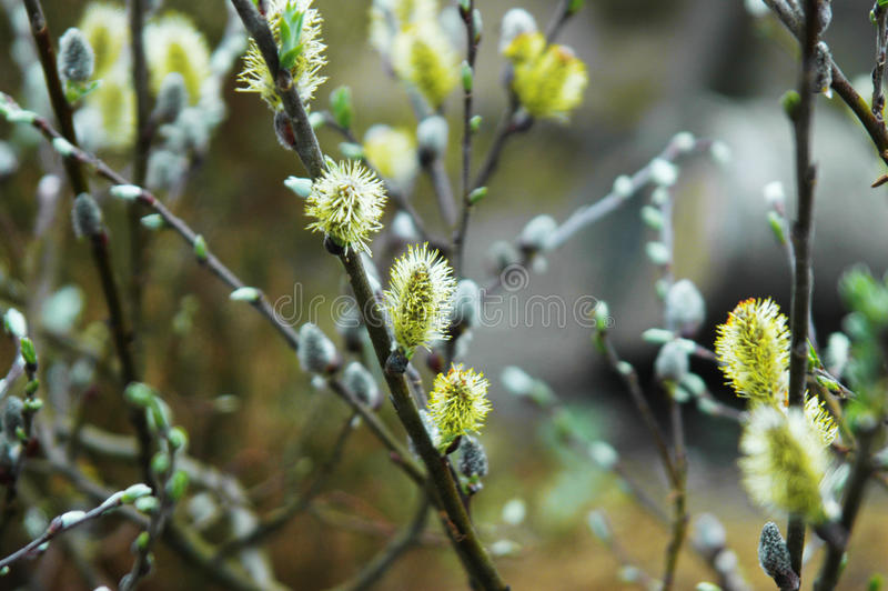 Willow blossoming