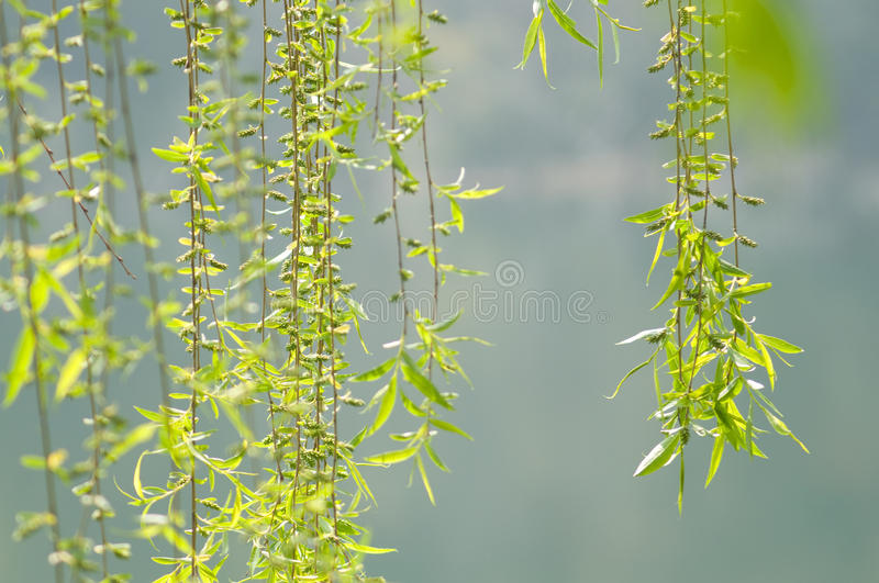 Willow branch. The slim willow branch with green leaves in spring royalty free stock images