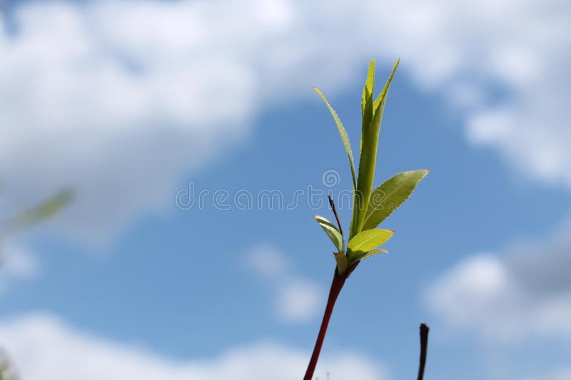Willow branch against the blue sky royalty free stock photography