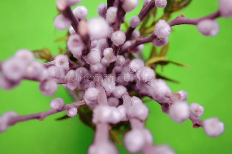 Willow branch with fluffy buds in a vase, top view, macro, blurred background in green backdround. Willow branch with fluffy buds in a vase, top view, macro stock image