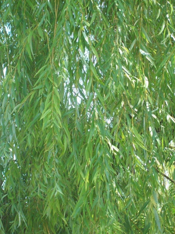 Willow Branches royaltyfri fotografi