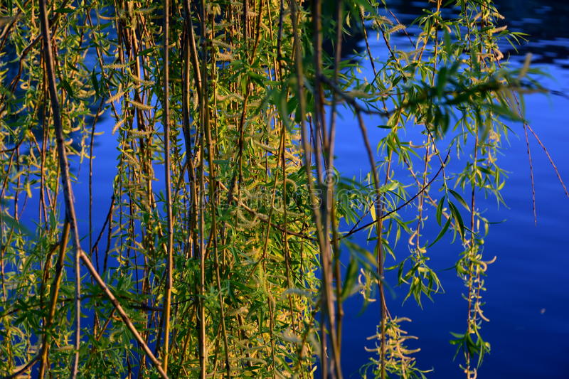 Willow Branches stock foto