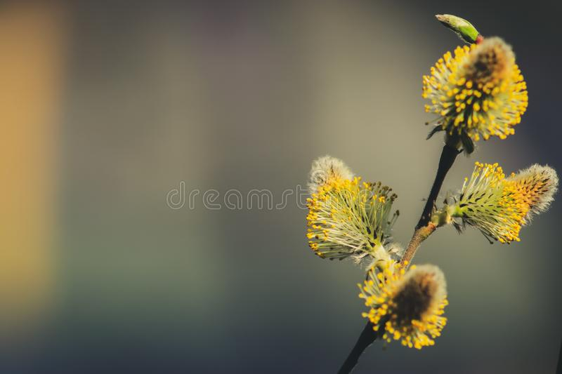 Willow branches with buds. Against the background of nature in early spring royalty free stock photos