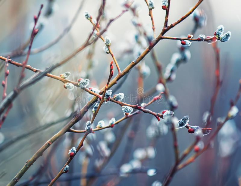 Beautiful willow branches with fluffy soft buds blossoming in the spring Park clean on Easter Sunday morning in the warm dawn. Willow branches with fluffy soft stock images