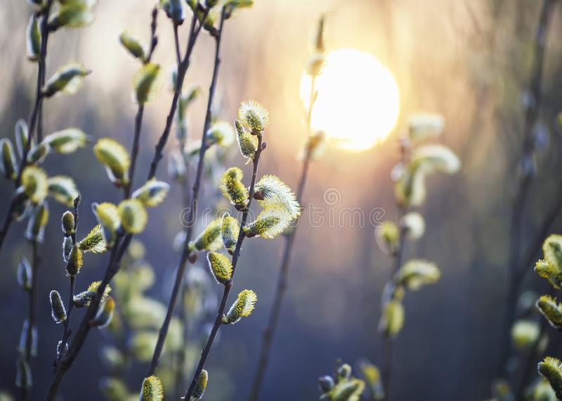 Willow branches with fluffy yellow buds blossomed in spring warm day on the background of sunset. Beautiful willow branches with fluffy yellow buds blossomed in royalty free stock photography