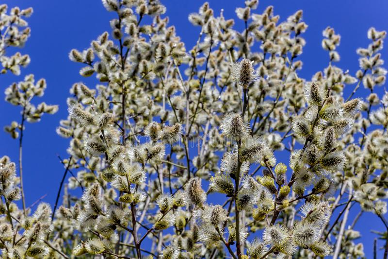 Willow buds blooming in early spring. Closen stock images