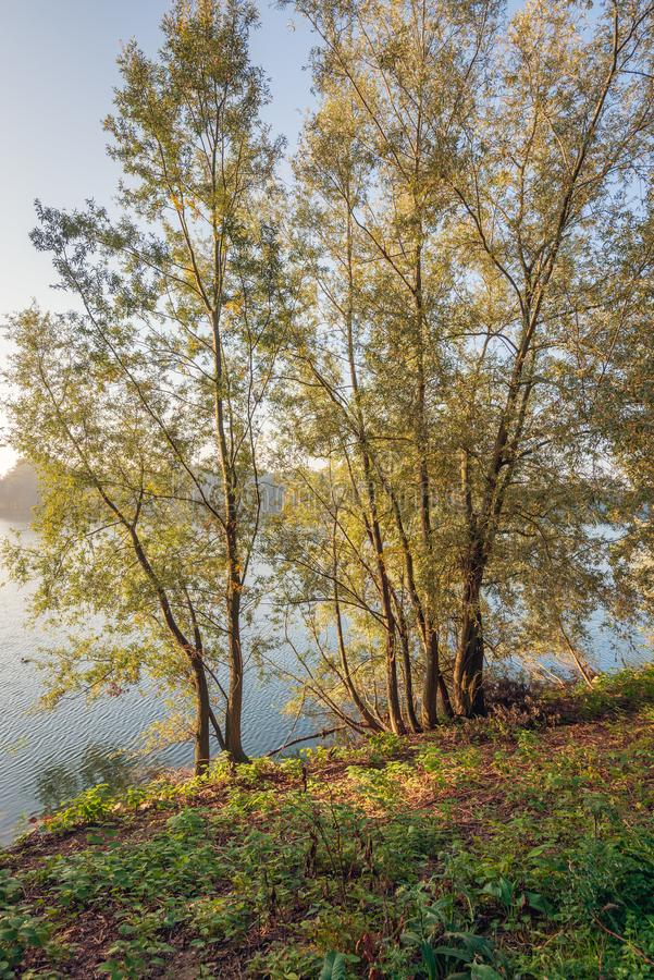 Willow bushes on the shore of a lake in the early morning sunlight royalty free stock image