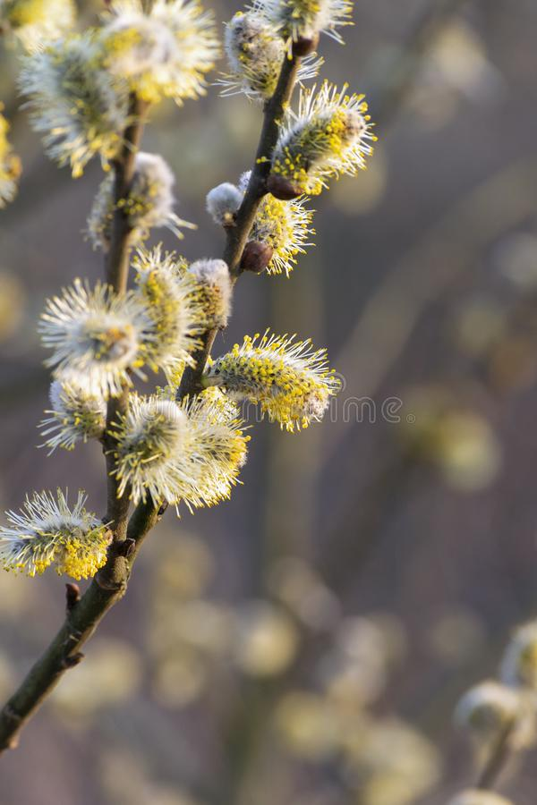 Willow catkin royalty free stock photos