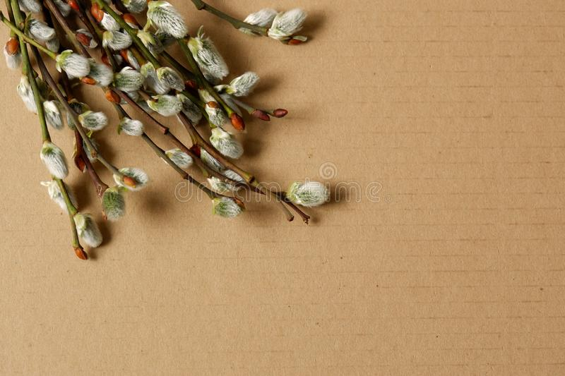 Willow catkins on aligned carboard background. Bunch branches willow catkins on aligned cardboard background top view symbol eastern decoration stock photo