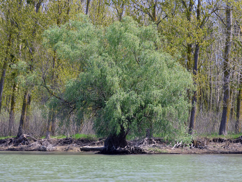 Willow in the Danube Delta. Landscape with willow in the Danube Delta royalty free stock image