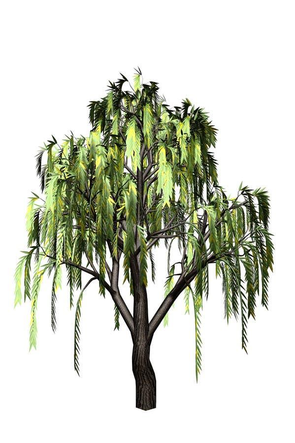 willow drzew ilustracji