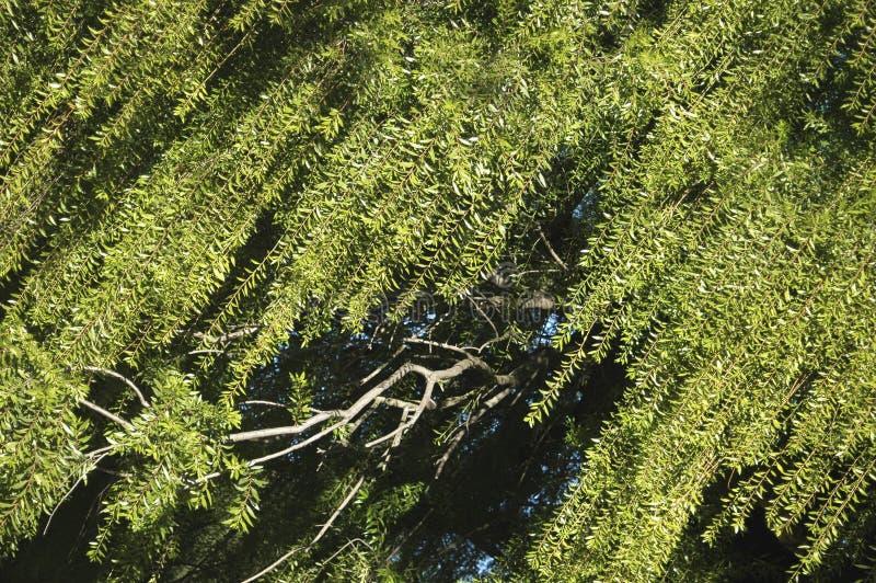 willow drzew zdjęcia royalty free