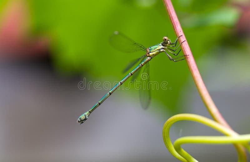 Willow Emerald Damselfly. Chalcolestes viridis, formerly Lestes viridis, a damselfly known as Willow Emerald Damselfly or the Western Willow Spreadwing stock image