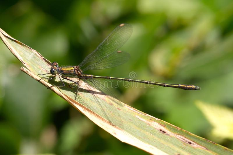 Willow Emerald damselfly in the late summer sunshine. stock photography