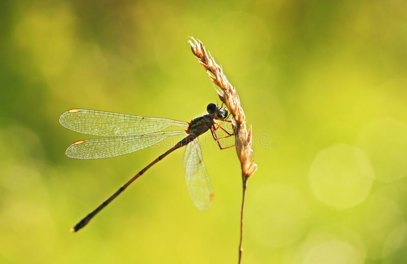 Willow emerald damselfly on grass. Willow emerald damselfly on dry grass on meadow in spring in sunshine stock image