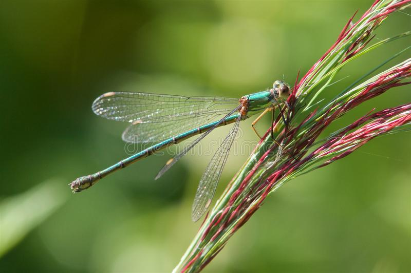 A Willow Emerald Damselfly, on a grass stem. A Willow Emerald Damselfly, Chalcolestes viridis, resting on a grass stem royalty free stock image