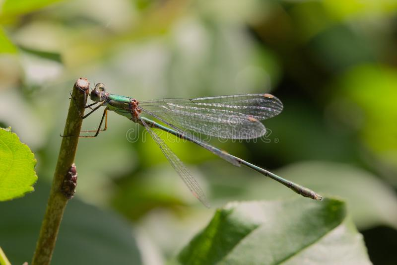 Willow Emerald damselfly in the late summer sunshine. royalty free stock photo