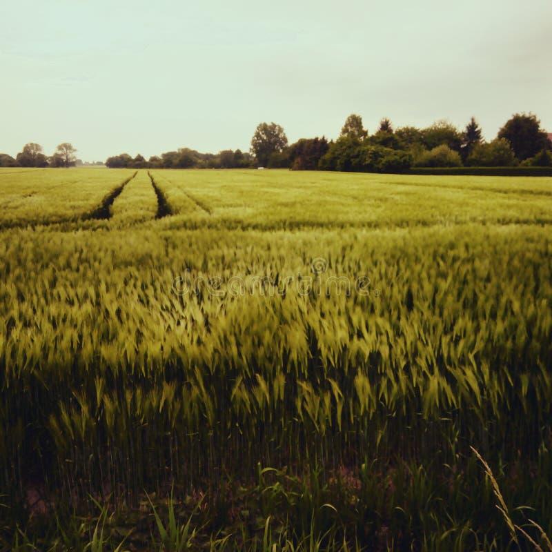 Willow Field fotografia de stock royalty free