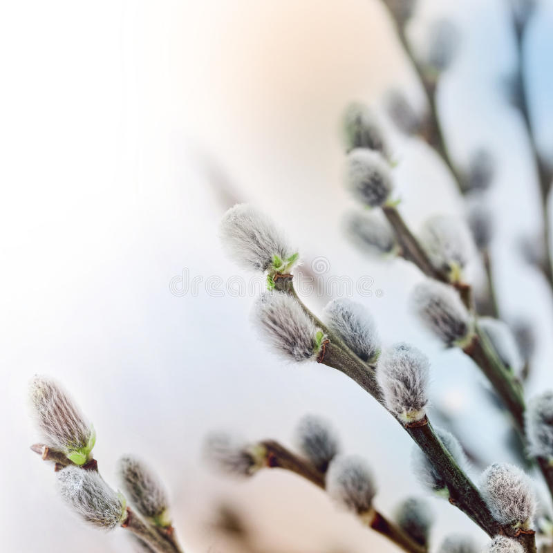 Free Willow Flowers In Spring Royalty Free Stock Photography - 18263297