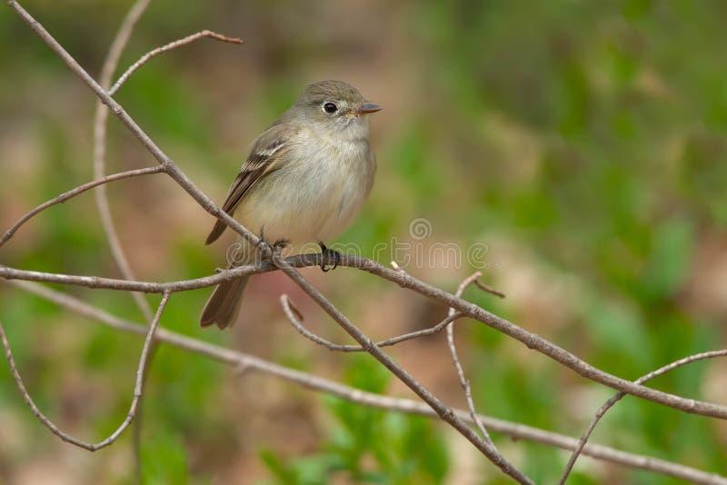 Willow Flycatcher - Empidonax traillii arkivfoton