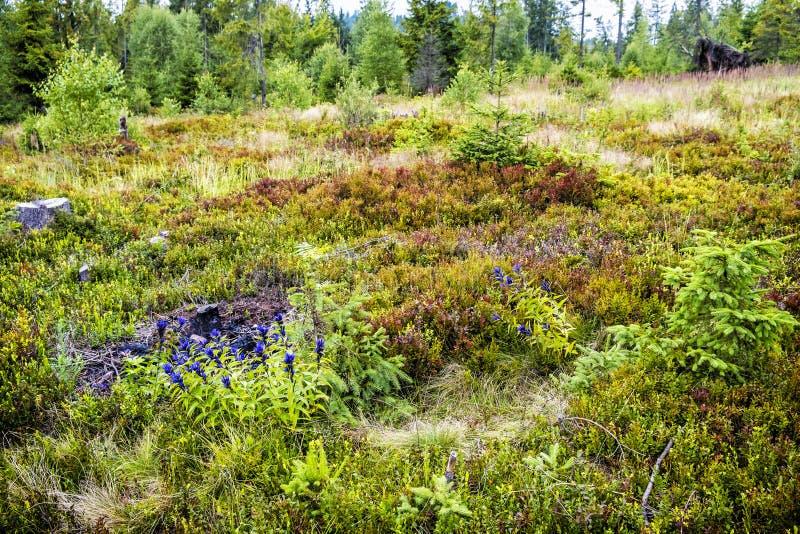 Willow gentian - Gentiana asclepiadea, Babia hora hill, Slovakia royalty free stock photo