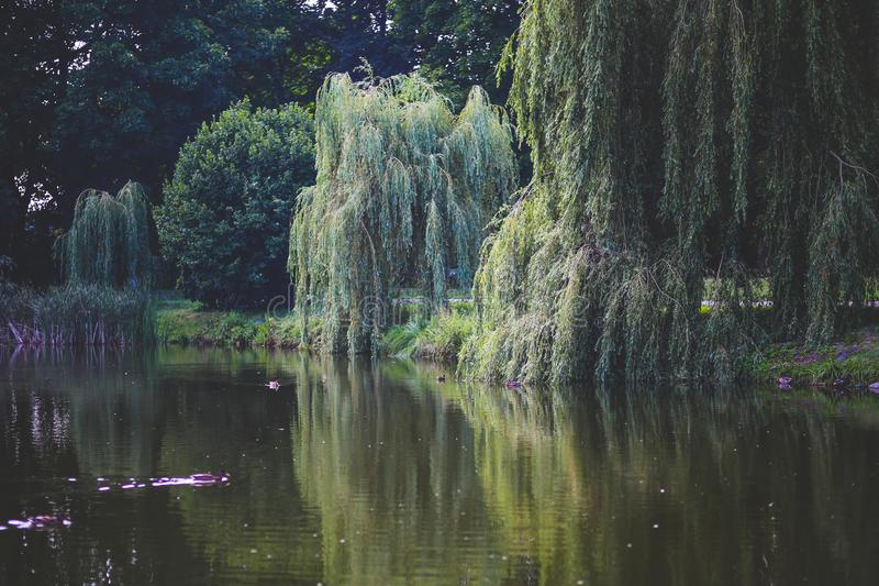 Willow that grow along the river royalty free stock photo