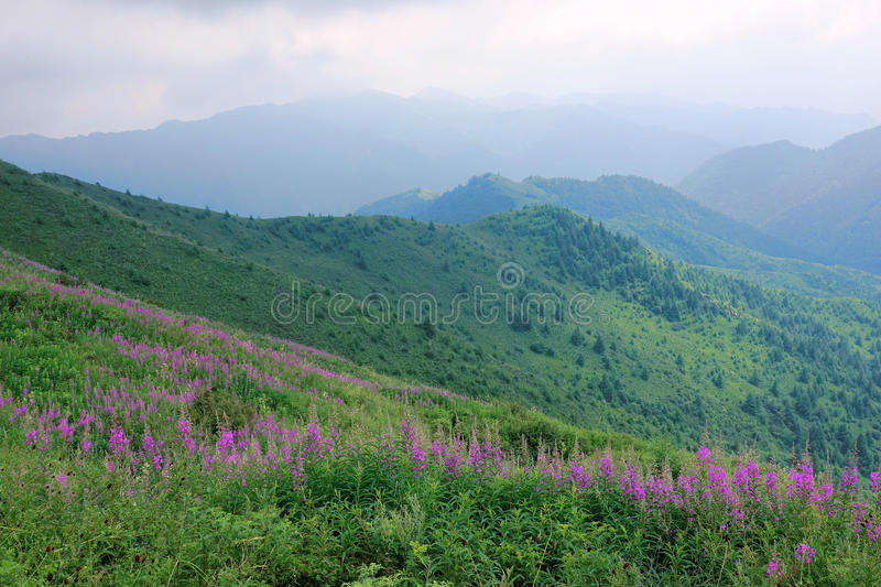 Willow herb. The willow herb are blooming in summer mountains. Scientific name: Chamaenerion angustifolium stock images