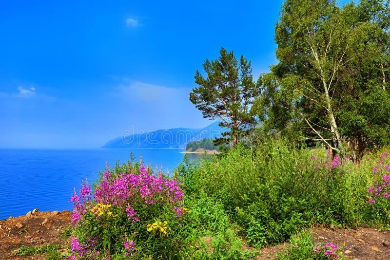Willow herb Chamerion angustifolium flowers on shore of Lake Baikal royalty free stock photo