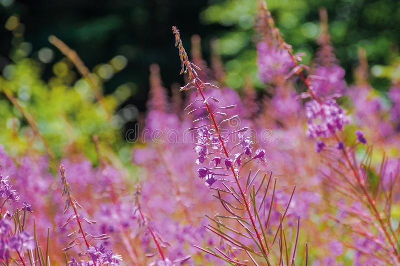 Willow herb purple flowers closeup royalty free stock photography