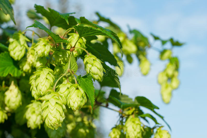 Download Willow of hop stock image. Image of colour, fauna, leaf - 33919647