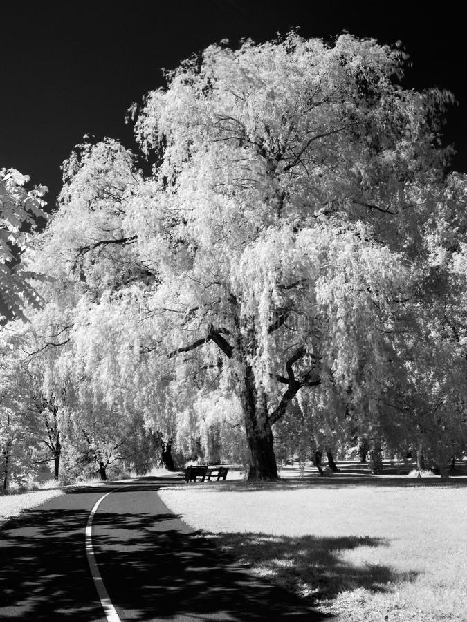 Download Willow in infrared stock image. Image of white, black - 25186459