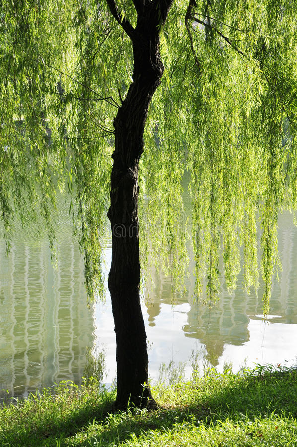 The willow lakeside