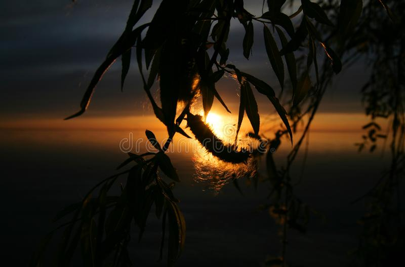 Willow leaf and bud silhouettes at sunset royalty free stock image