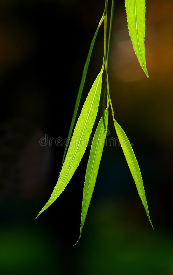 Willow leaves backgrounds. The willow leaves closeup shot in the spring royalty free stock photo