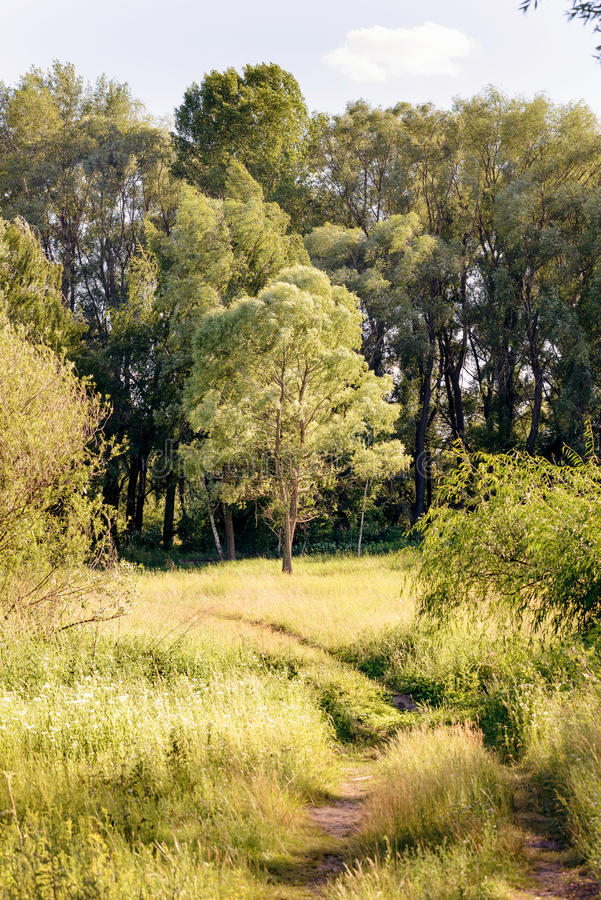 Willow in the Meadow royalty free stock photo