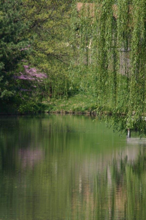willow nad wody fotografia stock