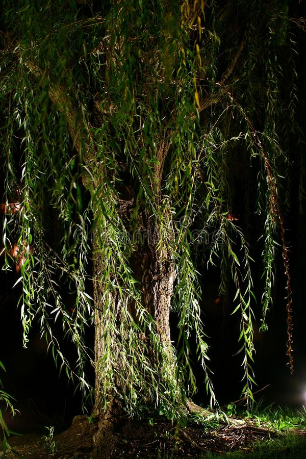 Download Willow at night stock photo. Image of weeping, lighted - 10764632