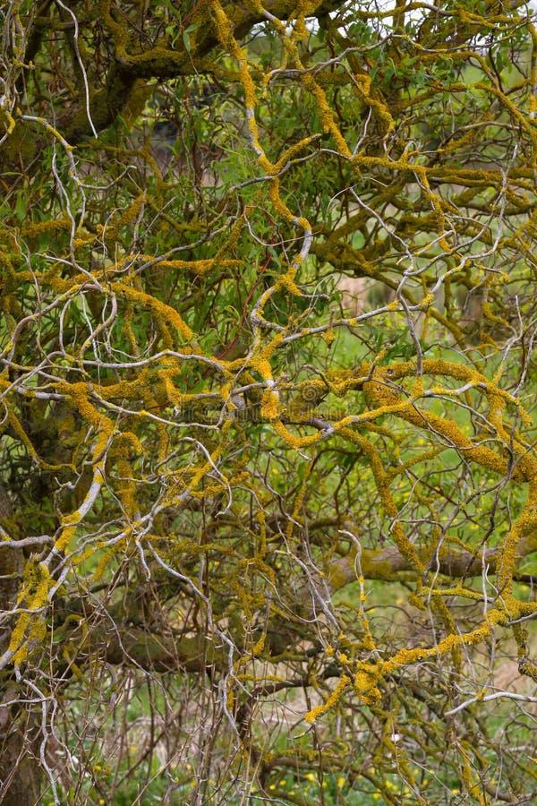 Willow Orange Lichens tordue par tire-bouchon sur des branches photo stock