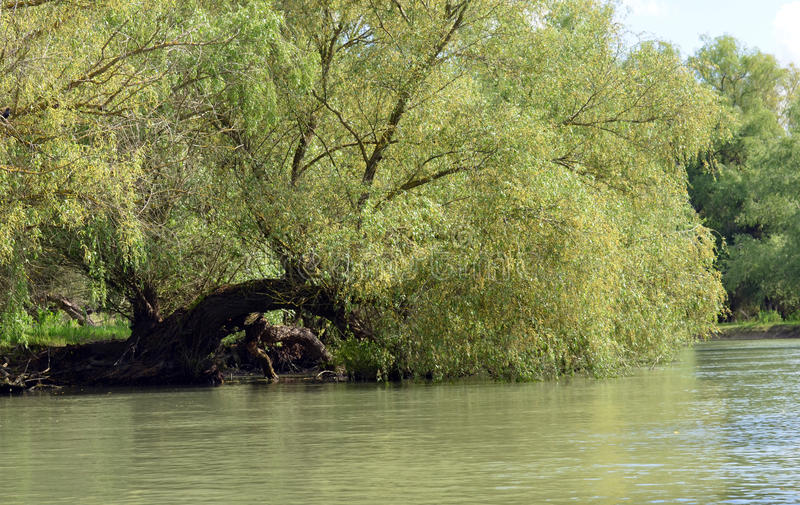 Willow over the water stock image