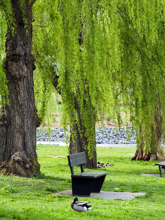 Willow Park. Beautiful park scene in Virginia with mallard ducks resting in the shade of weeping willow trees stock photography