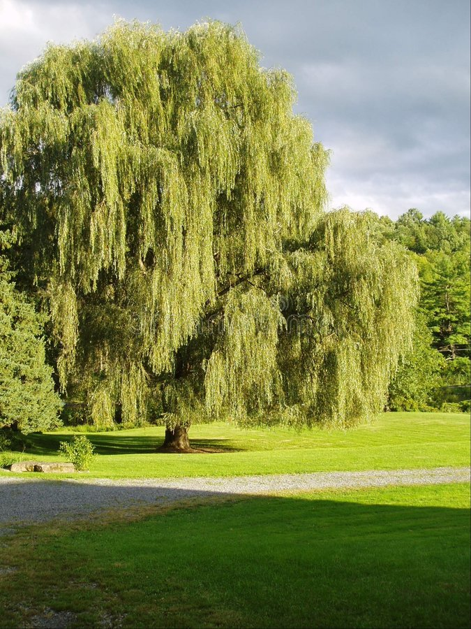 willow potoki łez obraz royalty free