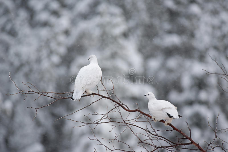 Willow Ptarmigan photographie stock
