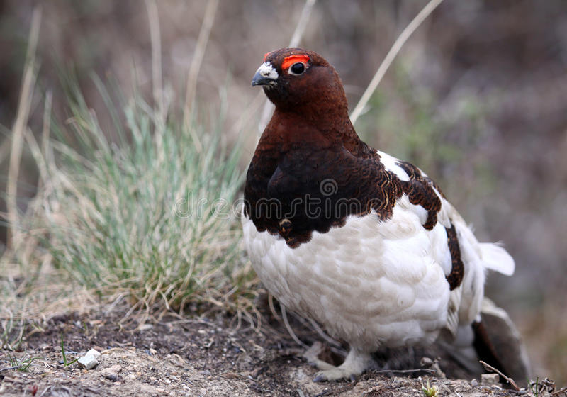 Willow Ptarmigan - Alaska State Bird. A friendly Willow Ptarmigan sits patiently in Denali National Park. The Williow Ptarmigan is the official state bird of