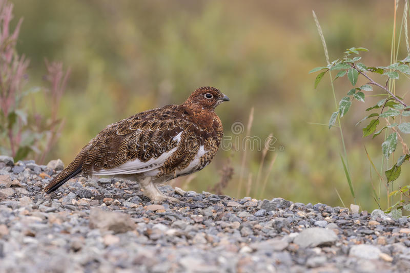 Willow Ptarmigan in Fall. A willow ptarmigan in early fall in Alaska royalty free stock photography