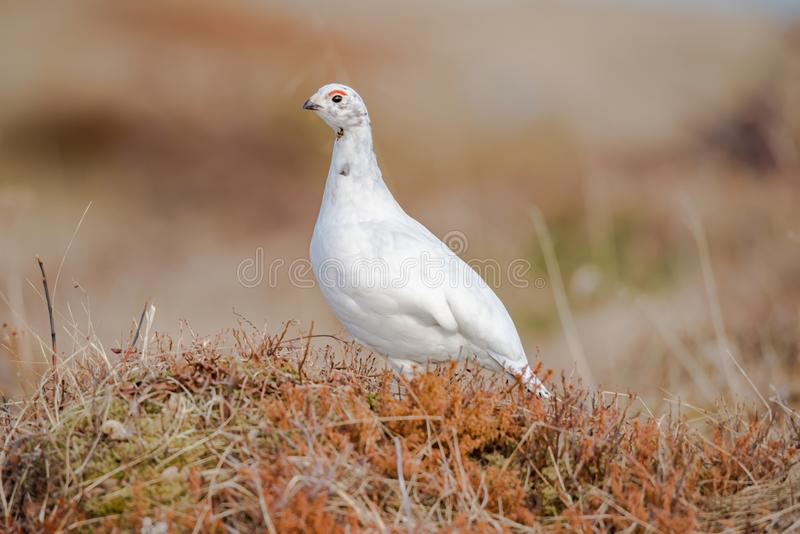 Willow Ptarmigan - Lagopus - hembra - pájaro con las cejas rojas imagen de archivo