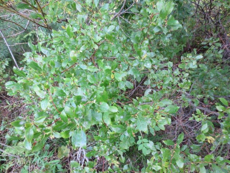 Willow - Résident forestier du Paradis d'été photographie stock libre de droits